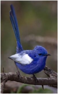 "Despite the name and perky tail, fairywrens (and I suggest you check out the others) are not closely related to ""true wrens"""