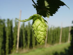 The hop plant, part of the same family as the nettle and cannabis.