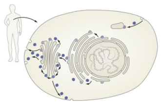Just a few possible pathways of vesicles moving cargo around a cell. Note vesicle fusion with the cell membrane on the left, releasing contents to the outside. Human and cell not to scale, in case you were wondering.