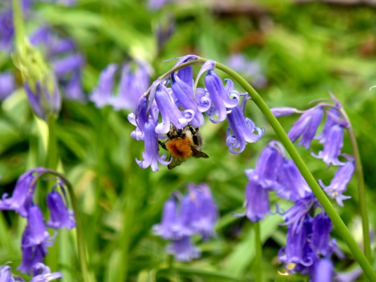 Common carder bumblebee on a bluebell.