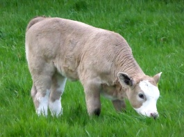 Calf having a go at grazing