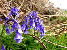 I don't know why but these bluebells really remind me of Goths at a rock concert...