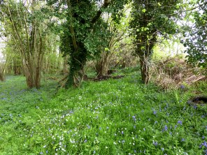 Bluebell (and other) woodland