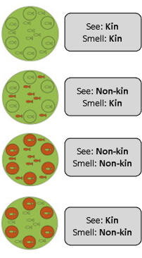 The conditions zebrafish were raised in. Green is kin, red is non-kin. Small circles represent glass beakers. Source: see link at end