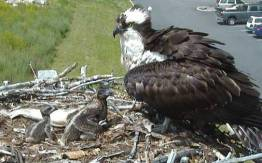 The runt on the left died days after this was taken. Source: montana osprey cams
